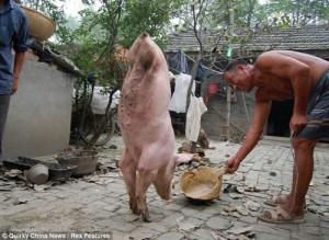 Laowaicast 44 — Безрукий пианист, двуногая свинья и китайские йети-насильницы