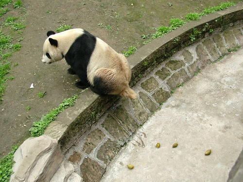 Китаец запатентовал идею выращивания чая на экскрементах панд в качестве удобрений