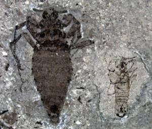 Палеонтологи откопали гигантскую блоху Юрского периода в Китае